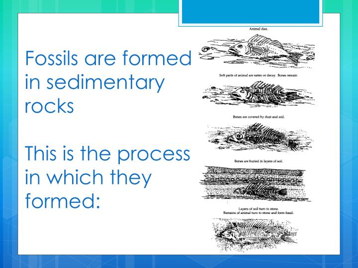 Fossils are formed in sedimentary rocks