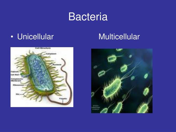 One Celled Organism >> PPT - Unicellular and Multicellular Organisms PowerPoint Presentation - ID:2471658