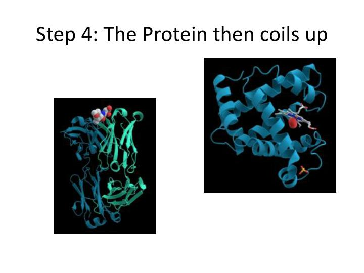 Step 4: The Protein then coils up