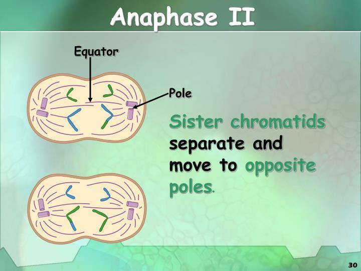 Anaphase II