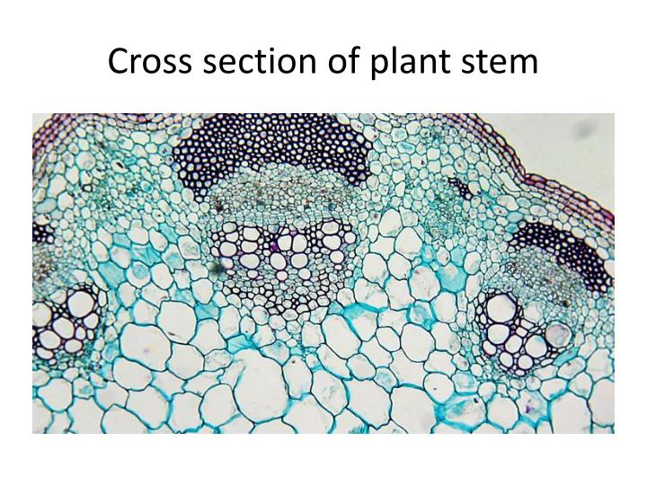 Cross section of plant stem