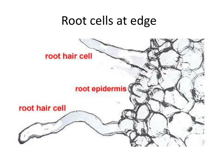 Root cells at edge