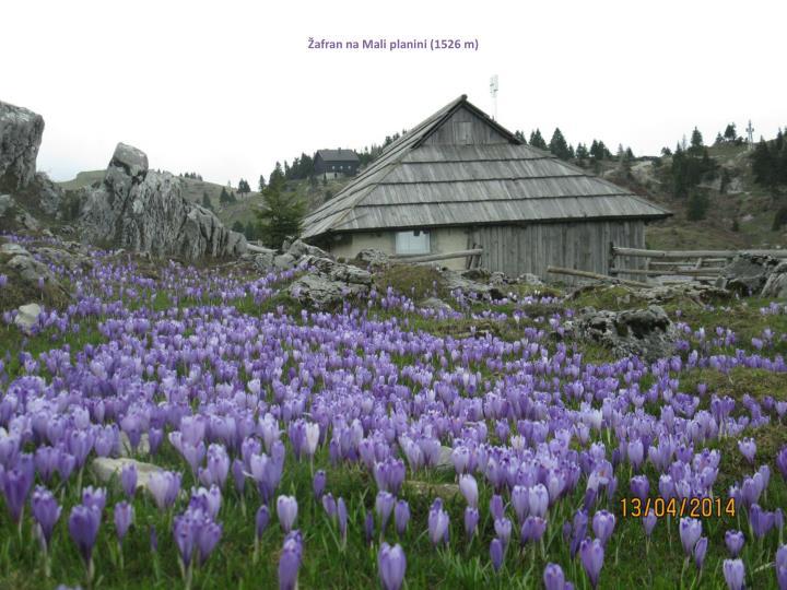 Žafran na Mali planini (1526 m)