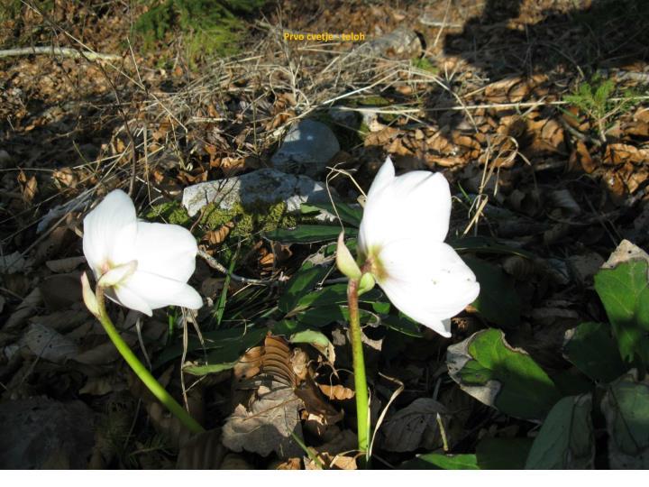 Prvo cvetje - teloh