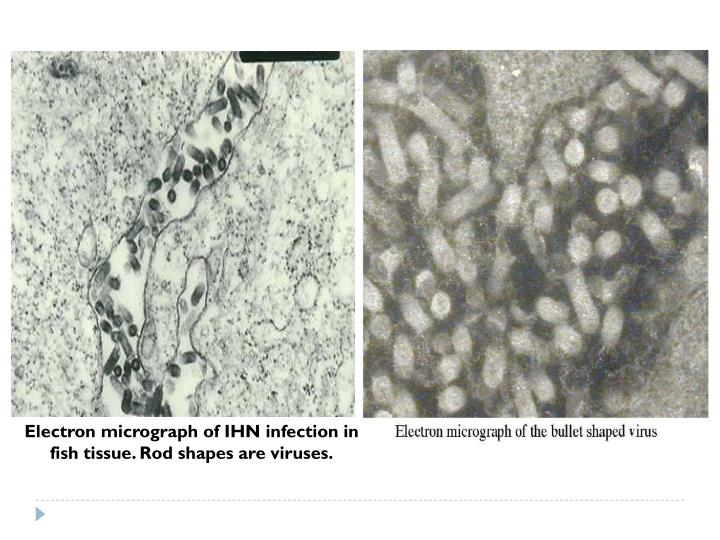 Electron micrograph of IHN infection in fish tissue. Rod shapes are viruses.