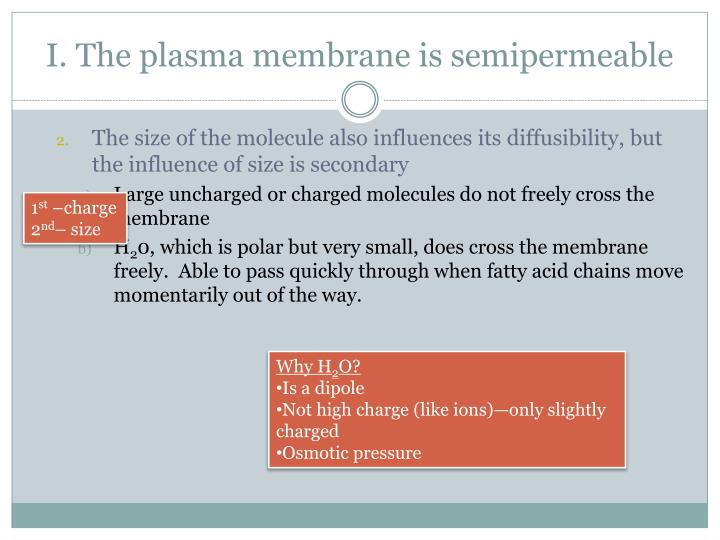 I. The plasma membrane is