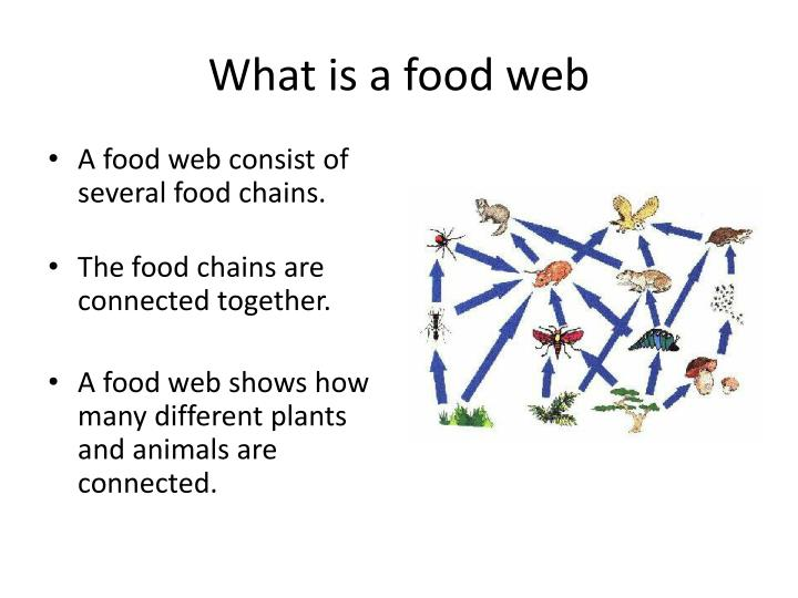 What is a food web