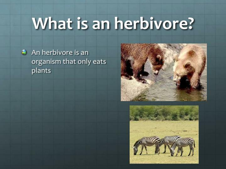 What is an herbivore?