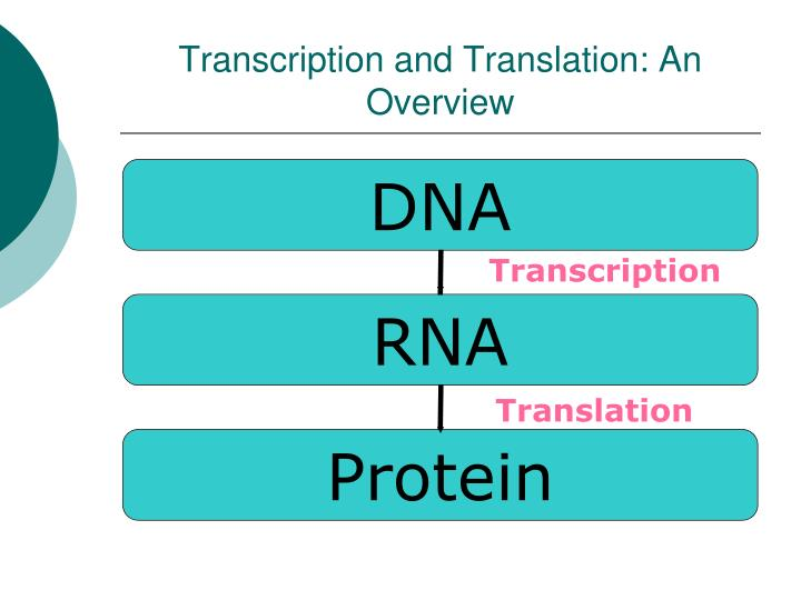 Transcription and translation an overview