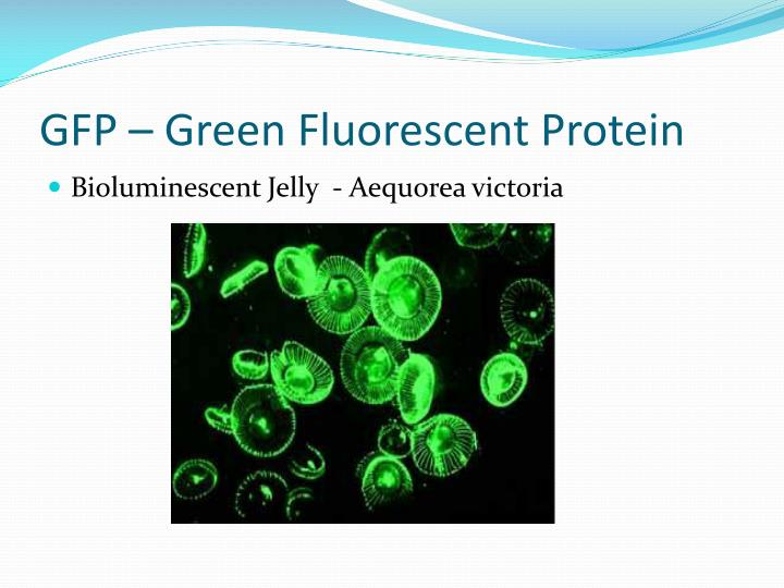 GFP – Green Fluorescent Protein
