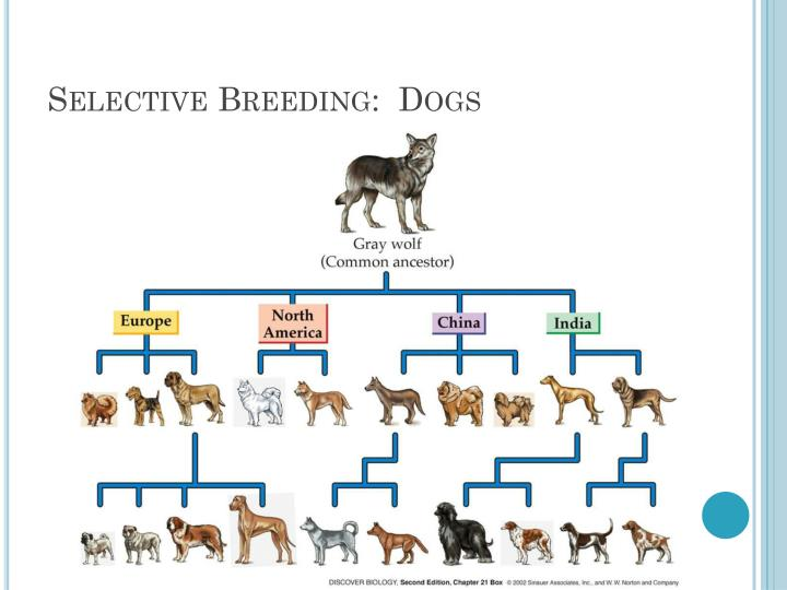 Selective Breeding:  Dogs