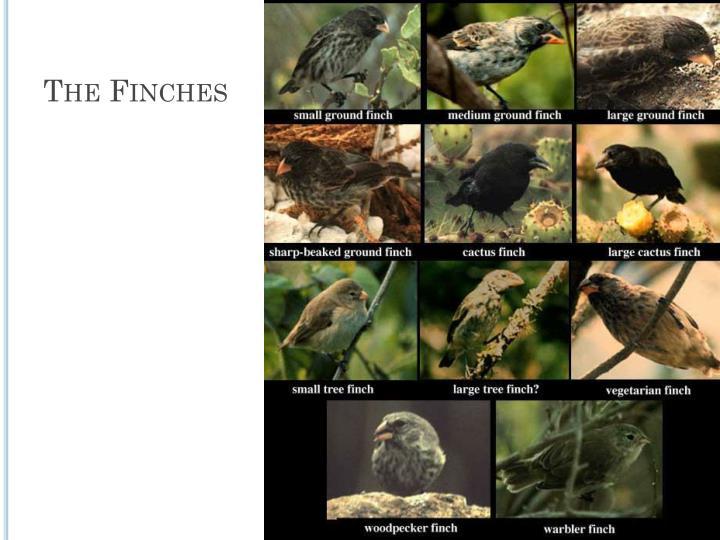The Finches