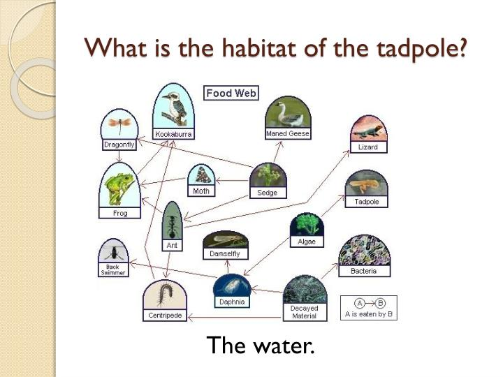 What is the habitat of the tadpole?