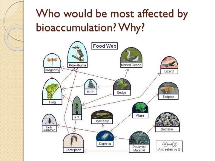 Who would be most affected by bioaccumulation? Why?