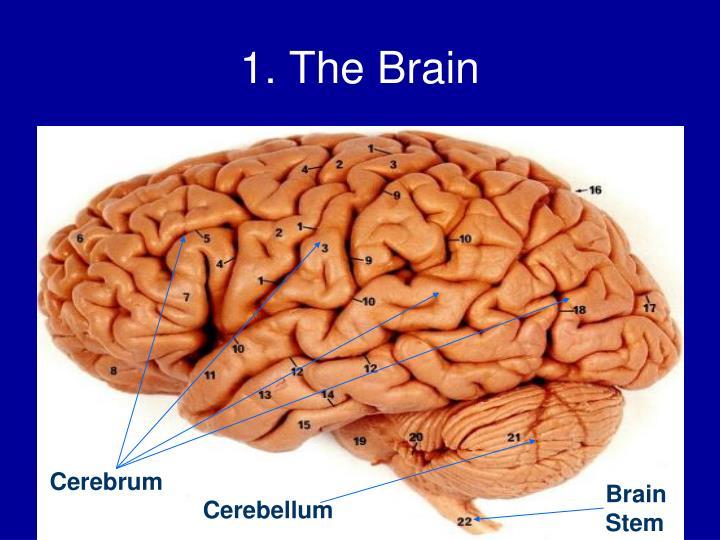 1. The Brain