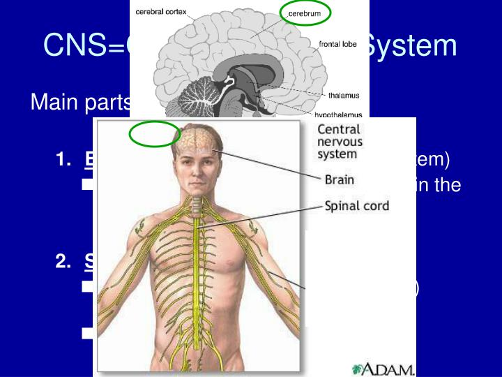 Main parts of the CNS: