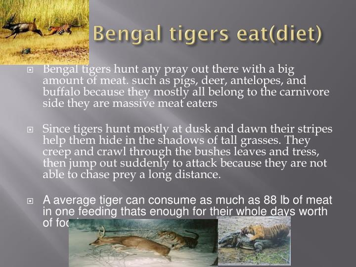 What bengal tigers eat diet