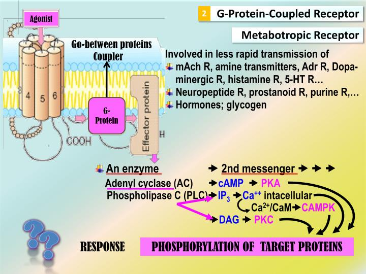 G-Protein-Coupled Receptor