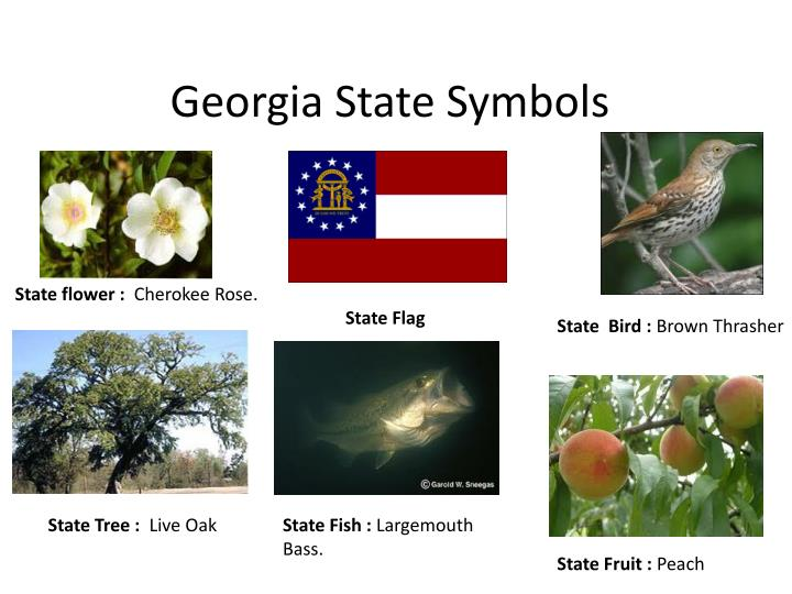 georgia state bird and flower - photo #20