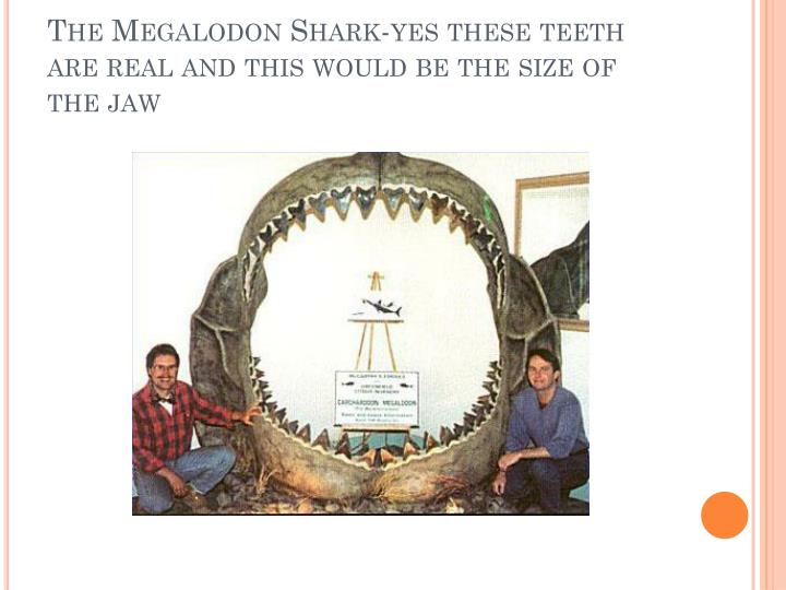 The Megalodon Shark-yes these teeth are real and this would be the size of the jaw