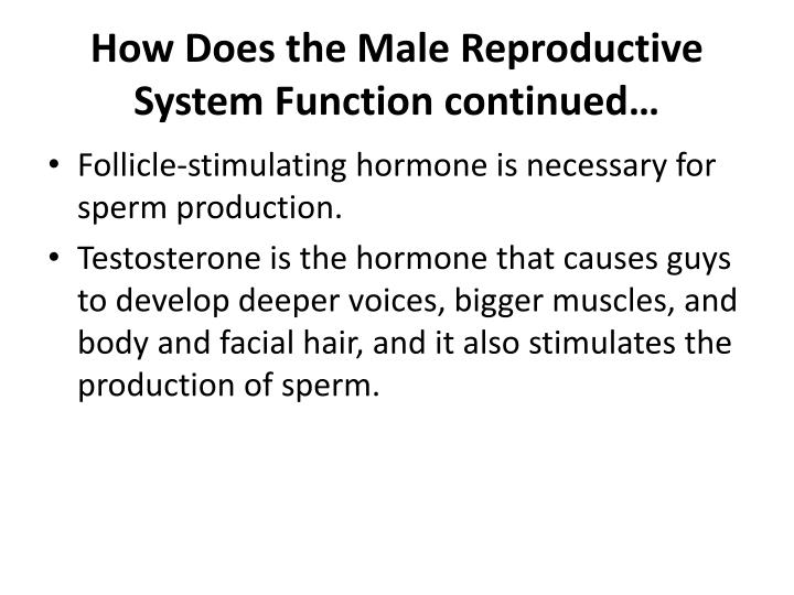 How Does the Male Reproductive System Function continued…