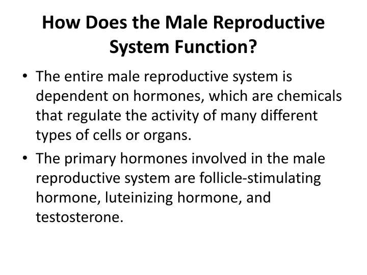 How Does the Male Reproductive System Function?