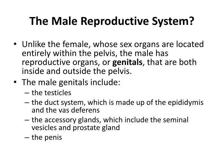 The Male Reproductive System?