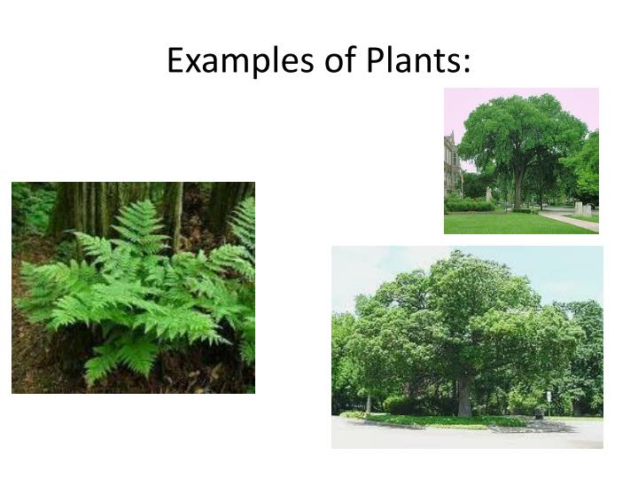Examples of Plants: