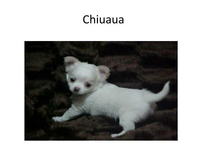 Chiuaua
