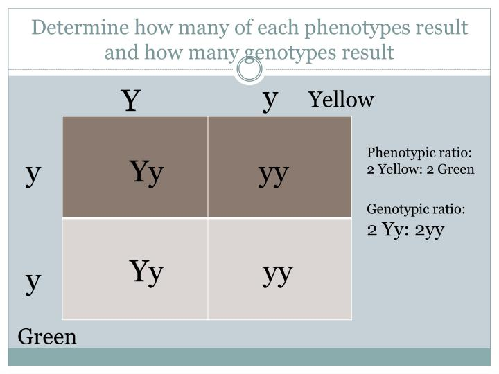 how to find genotypes of possible gametes of each parent