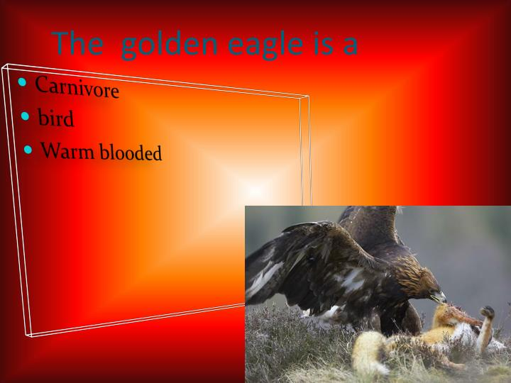 The  golden eagle is a