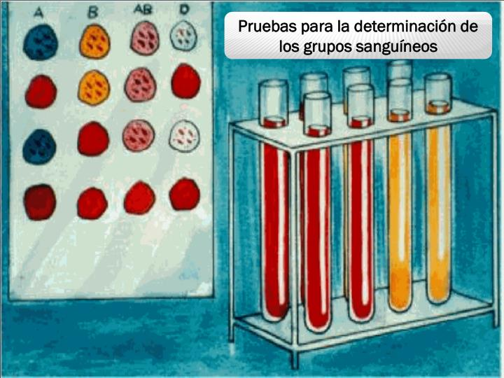 Pruebas para la determinación de los grupos sanguíneos