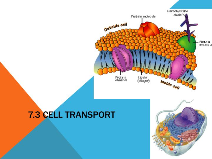 7 3 cell transport
