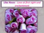 lilac roses love at first sight and enchantment