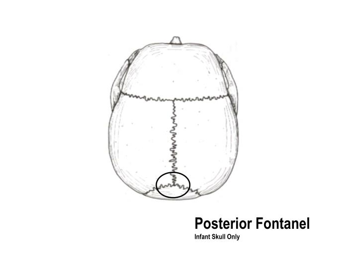 Posterior Fontanel