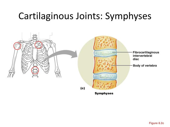 Cartilaginous Joints: Symphyses