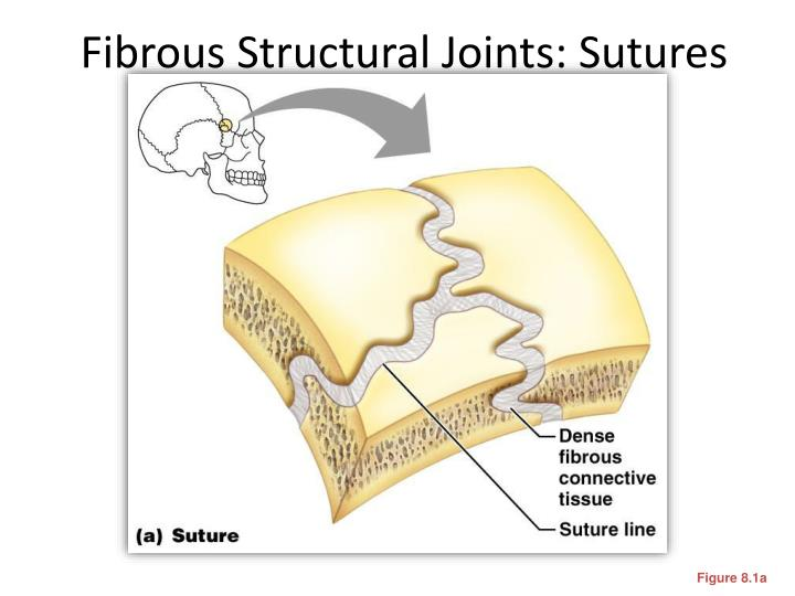 Fibrous Structural Joints: Sutures