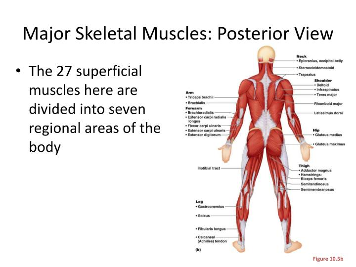 Major Skeletal Muscles: Posterior View