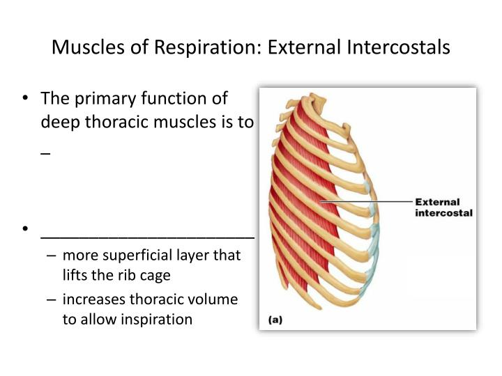 Muscles of Respiration: External Intercostals