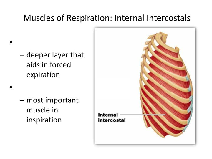 Muscles of Respiration: Internal Intercostals