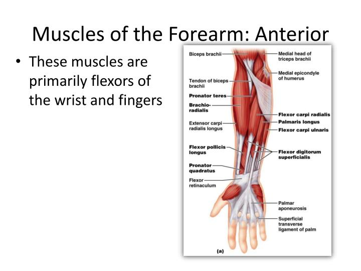 Muscles of the Forearm: Anterior