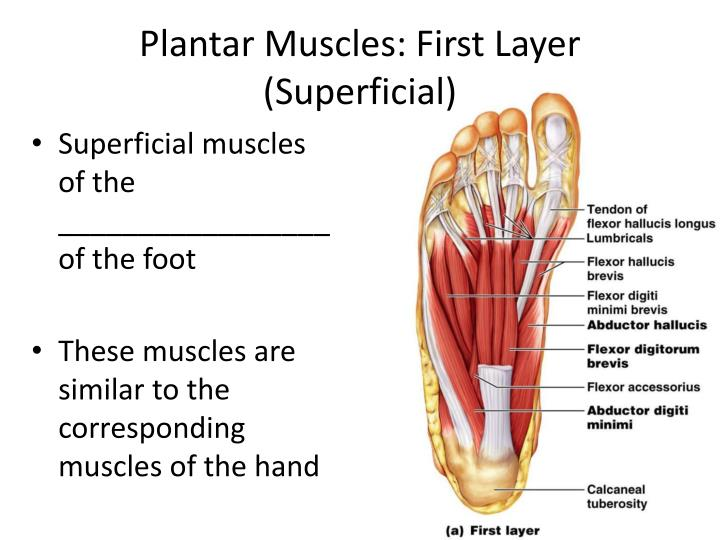 Plantar Muscles: First Layer (Superficial)