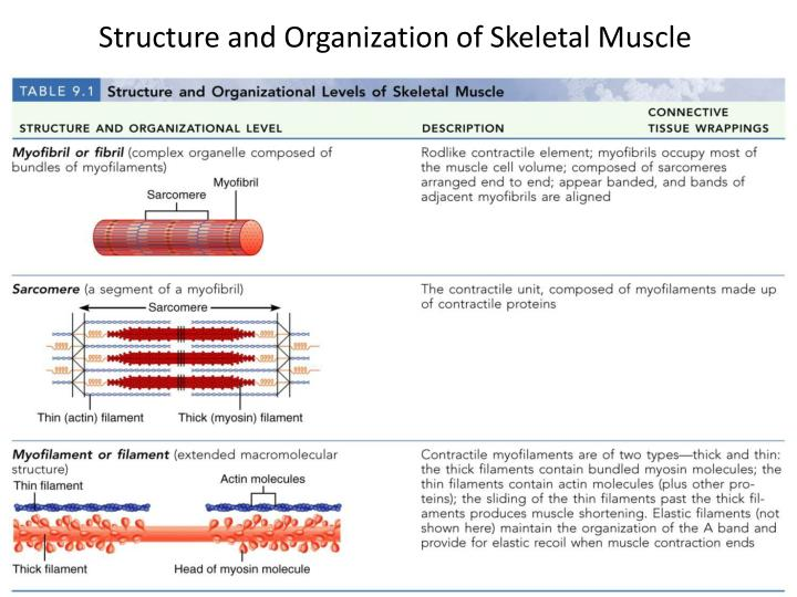 Structure and Organization of Skeletal Muscle