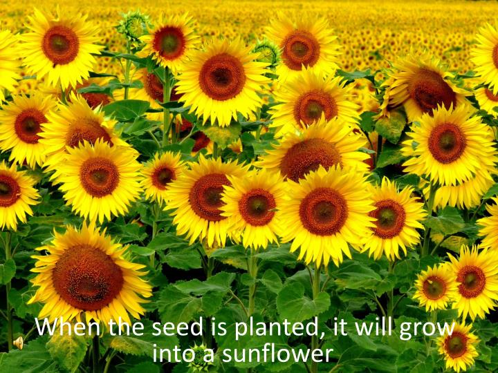 When the seed is planted, it will grow into a sunflower