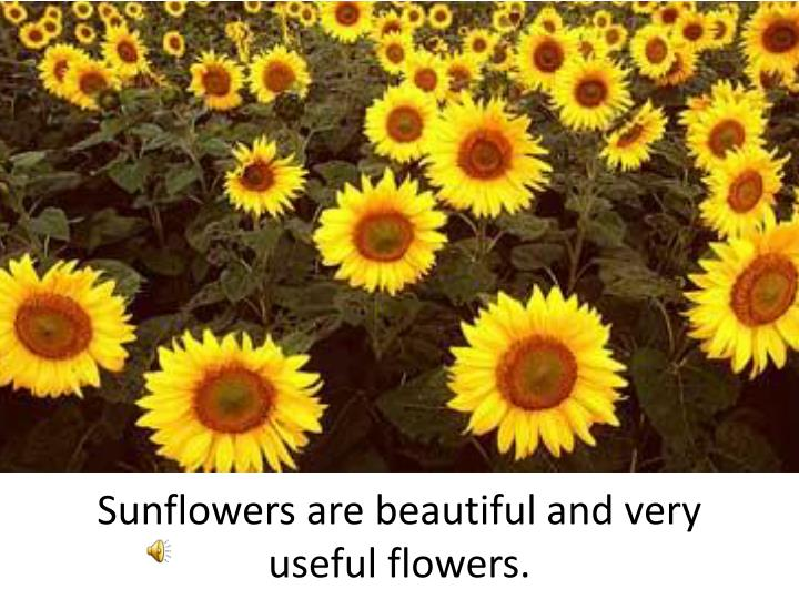 Sunflowers are beautiful and very useful flowers.