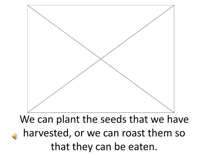 We can plant the seeds that we have harvested, or we can roast them so that they can be eaten.