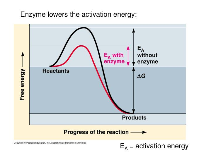 Enzyme lowers the activation energy: