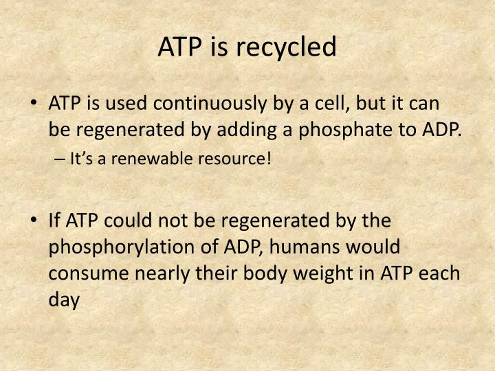 ATP is recycled