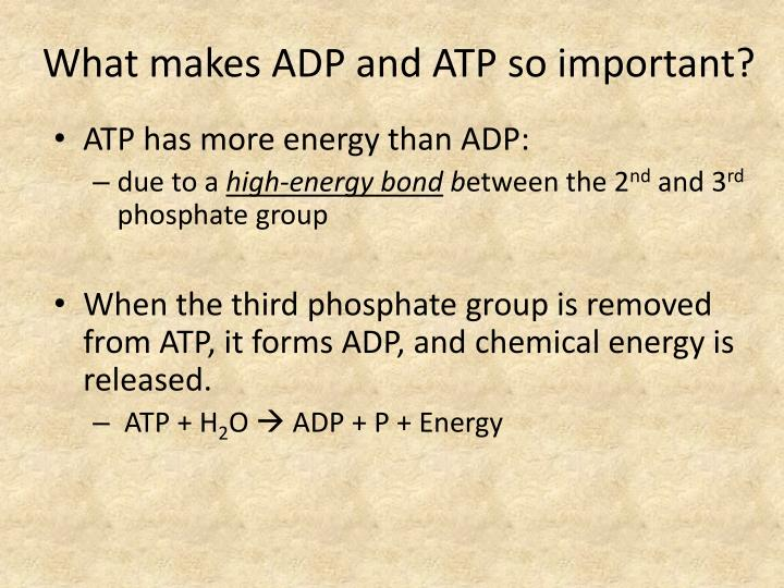 What makes ADP and ATP so important?