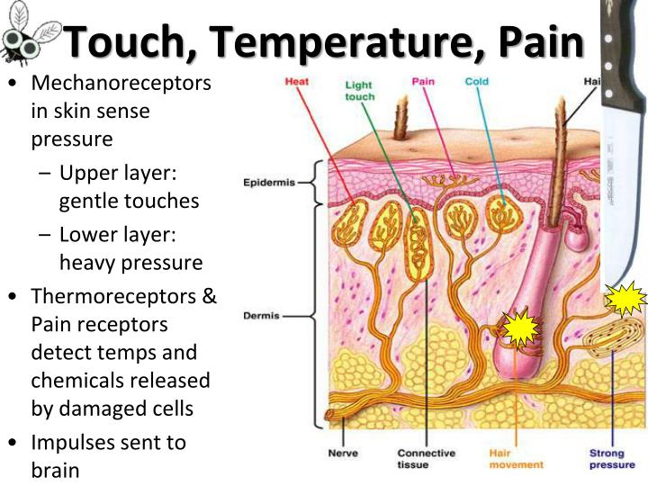 Touch, Temperature, Pain